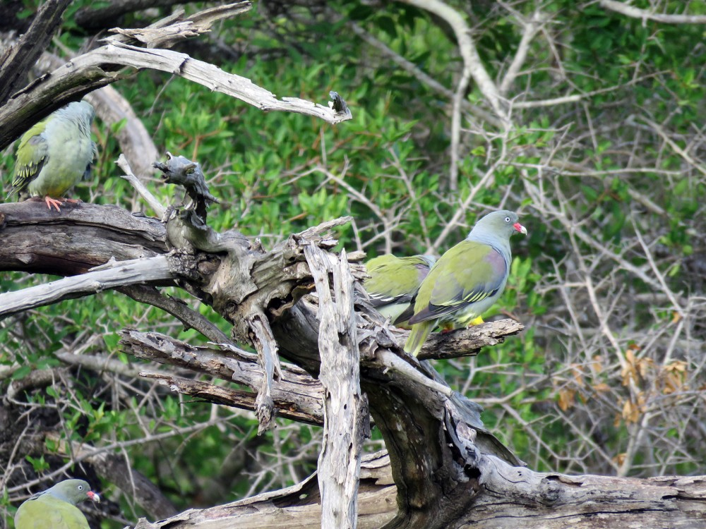 11 Green Turtles Doves