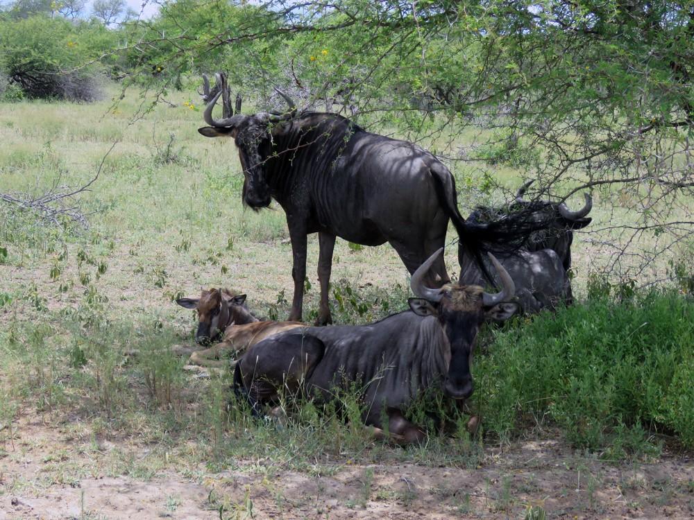22 Wildebeest