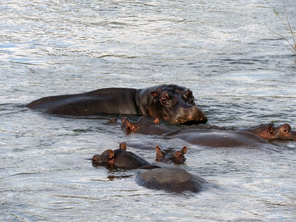 46 Hippo