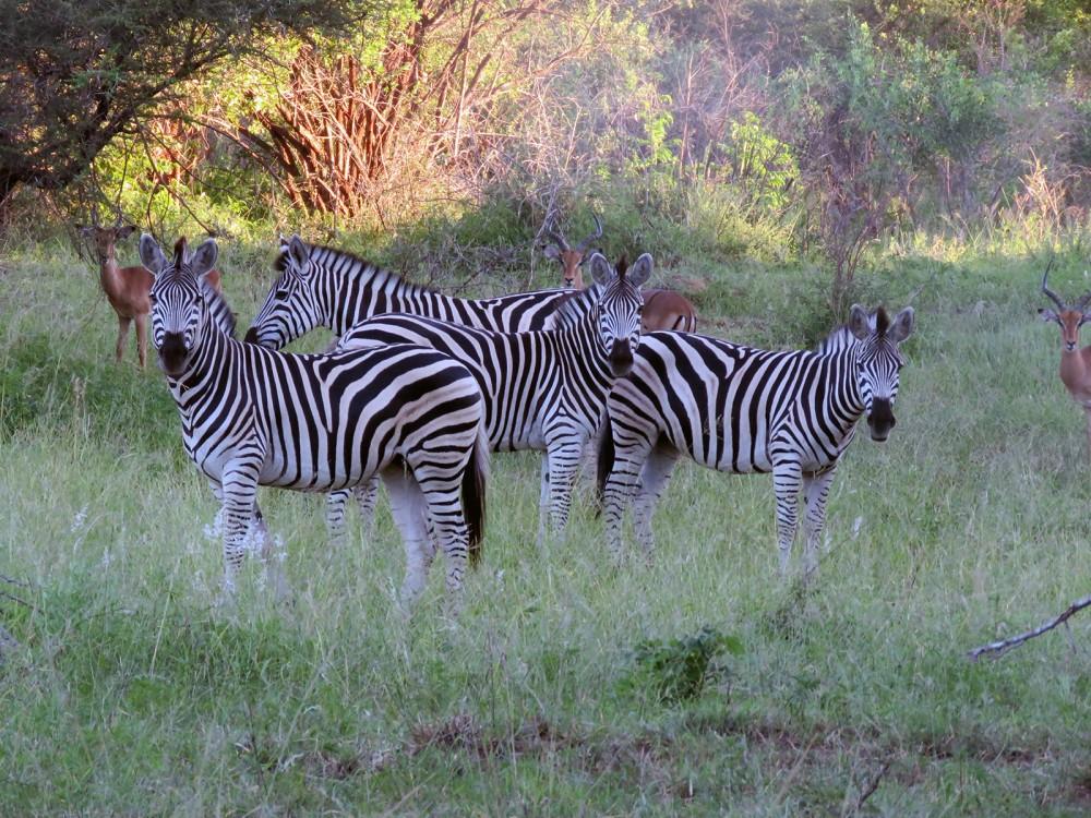 7 Zebras