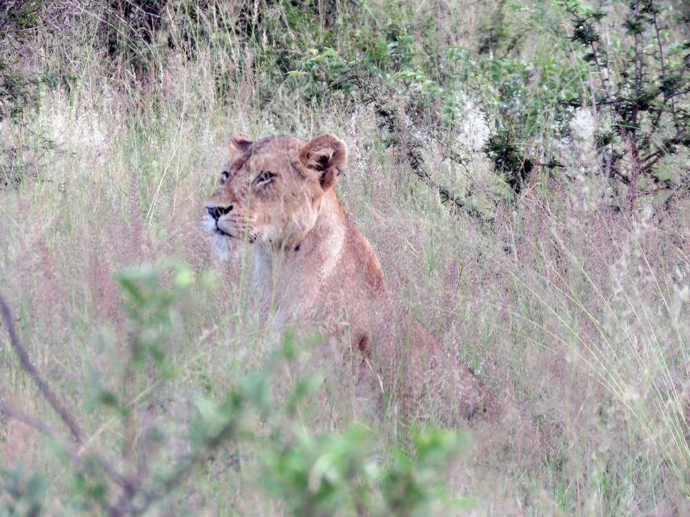 9 Lioness