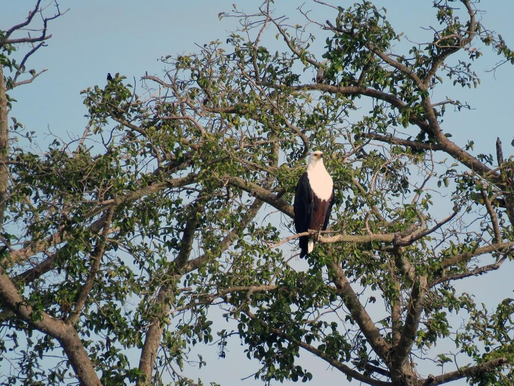 12 Fish Eagle