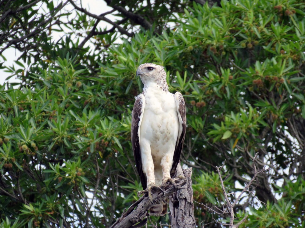 15 Walbergs Eagle