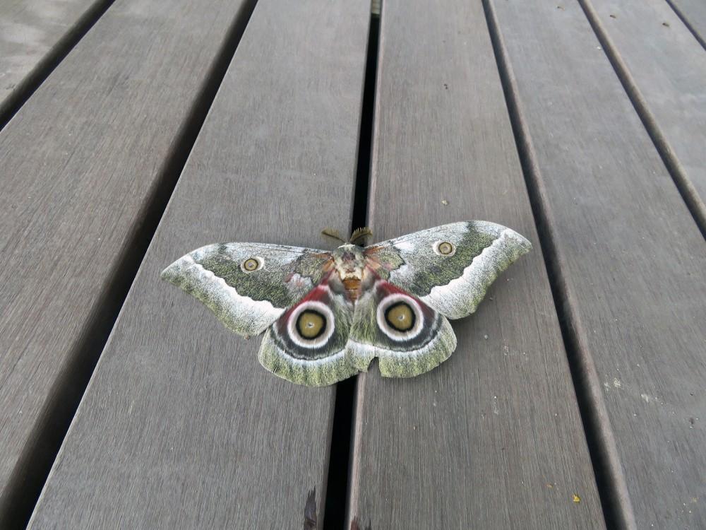 26 Moth