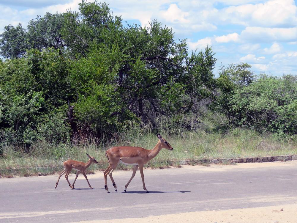 4 Baby Impala